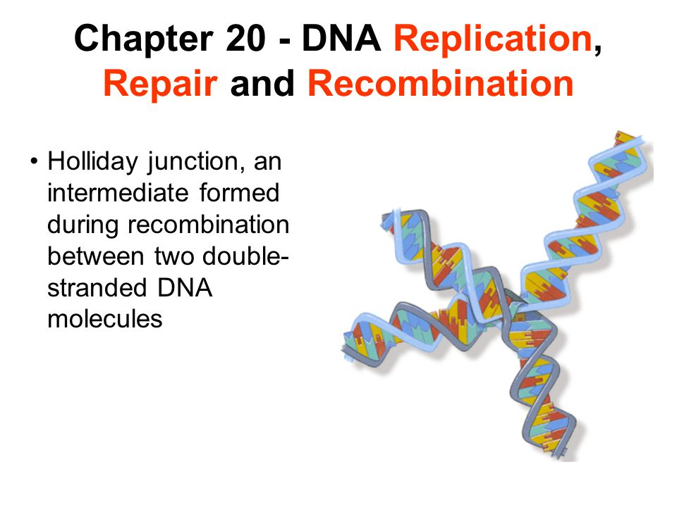 Chapter 20 - DNA Replication, Repair and Recombination Holliday junction, an intermediate formed during recombination between two double- stranded DNA