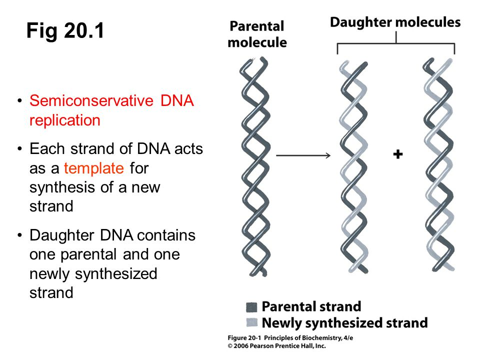 Fig 20.1 Semiconservative DNA replication Each strand of DNA acts as a template for synthesis of a new strand Daughter DNA contains one parental and o