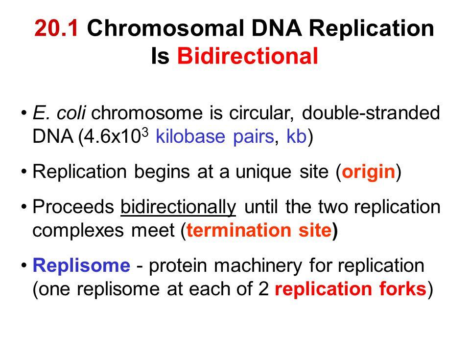 20.1 Chromosomal DNA Replication Is Bidirectional E. coli chromosome is circular, double-stranded DNA (4.6x10 3 kilobase pairs, kb) Replication begins