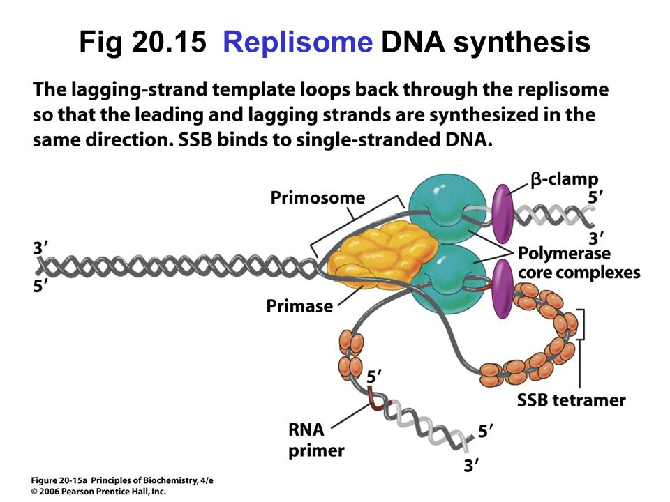 Fig 20.15 Replisome DNA synthesis