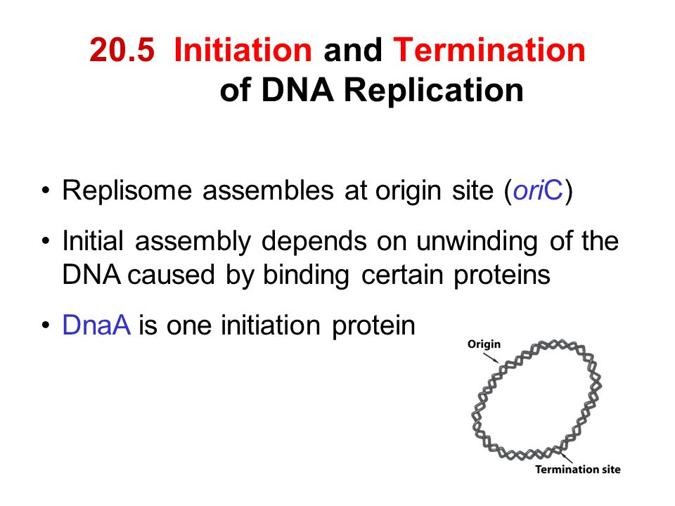 20.5 Initiation and Termination of DNA Replication Replisome assembles at origin site (oriC) Initial assembly depends on unwinding of the DNA caused b