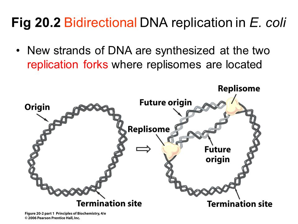 Fig 20.2 Bidirectional DNA replication in E. coli New strands of DNA are synthesized at the two replication forks where replisomes are located
