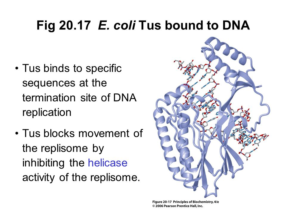 Fig 20.17 E. coli Tus bound to DNA Tus binds to specific sequences at the termination site of DNA replication Tus blocks movement of the replisome by