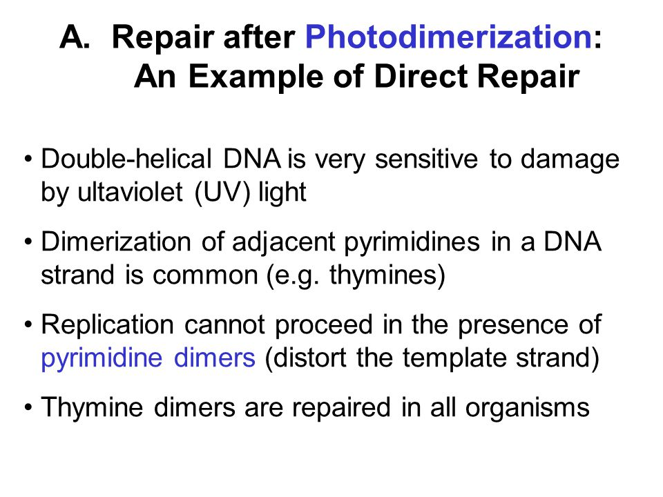 A. Repair after Photodimerization: An Example of Direct Repair Double-helical DNA is very sensitive to damage by ultaviolet (UV) light Dimerization of