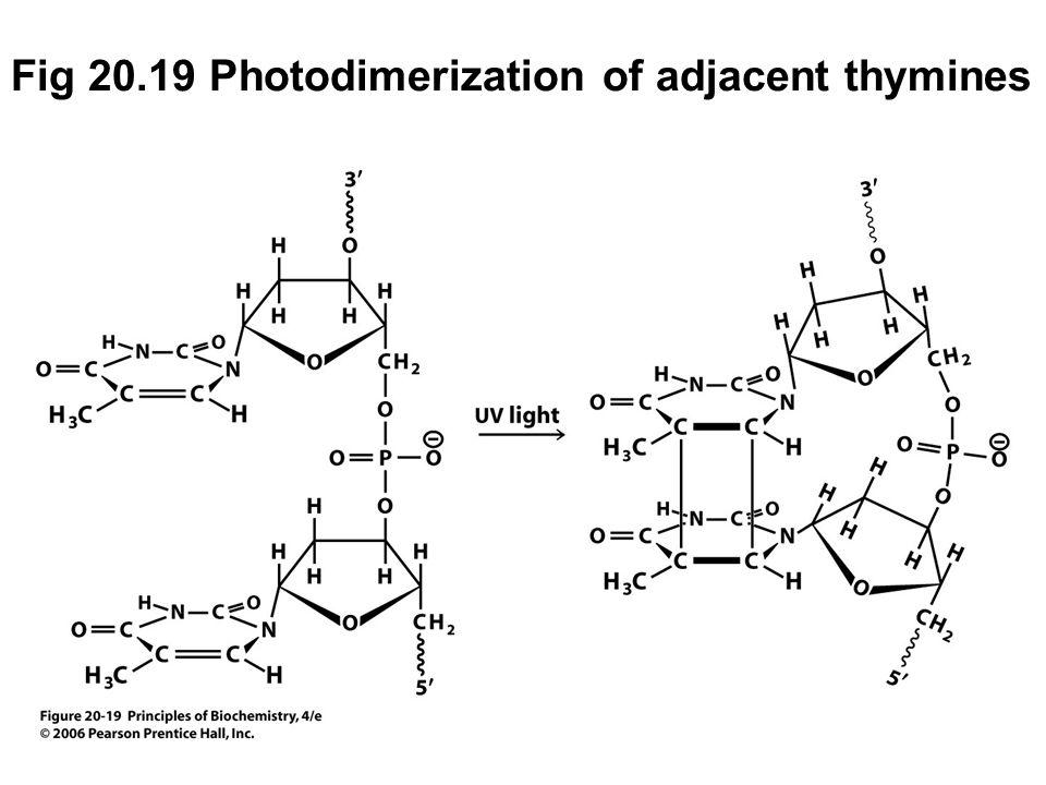 Fig 20.19 Photodimerization of adjacent thymines