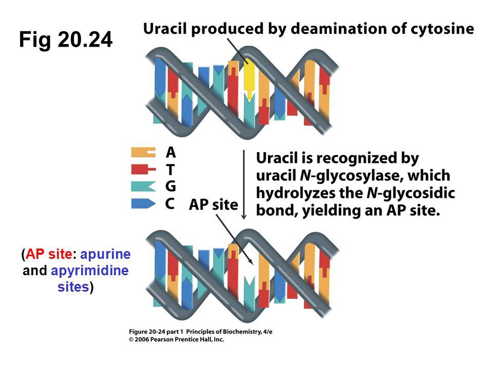 Fig 20.24 (AP site: apurine and apyrimidine sites)