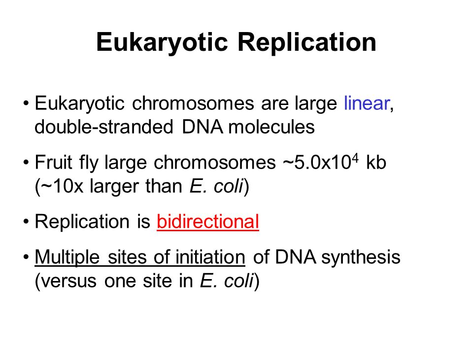 Eukaryotic Replication Eukaryotic chromosomes are large linear, double-stranded DNA molecules Fruit fly large chromosomes ~5.0x10 4 kb (~10x larger th