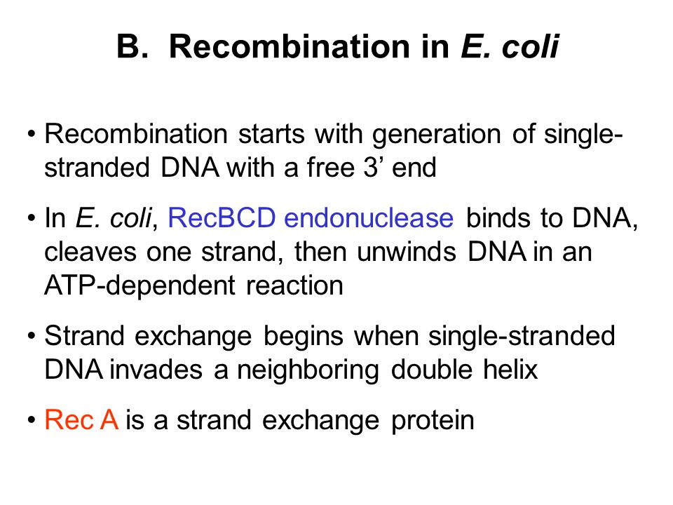 B. Recombination in E. coli Recombination starts with generation of single- stranded DNA with a free 3' end In E. coli, RecBCD endonuclease binds to D