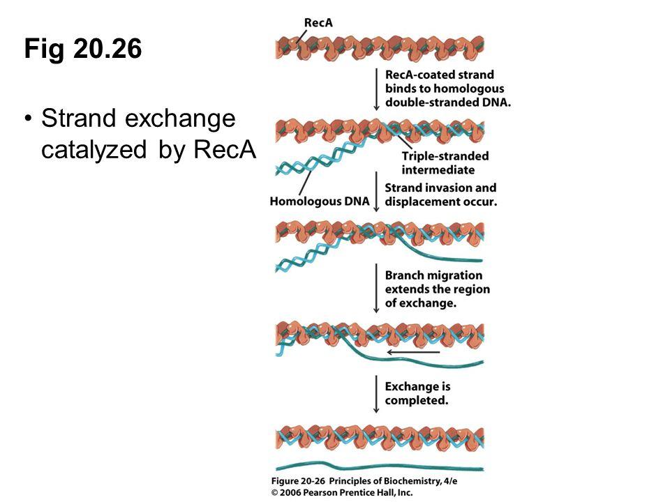 Fig 20.26 Strand exchange catalyzed by RecA