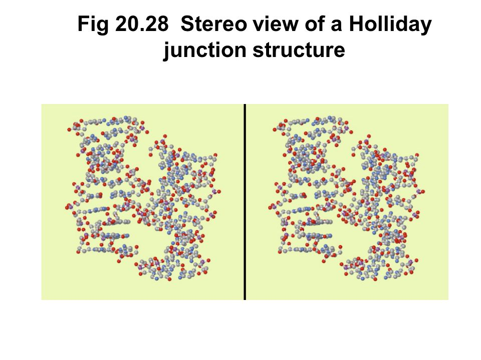 Fig 20.28 Stereo view of a Holliday junction structure