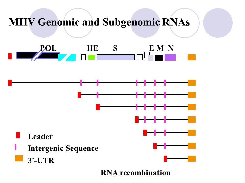 Genome structure of Coronavirus: 31-kb, single-strand, (+)-sense RNA
