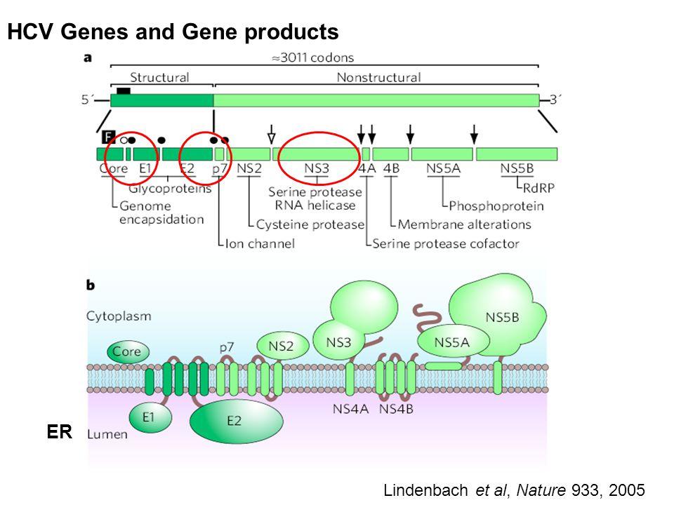 HCV Genes and Gene products Lindenbach et al, Nature 933, 2005 ER