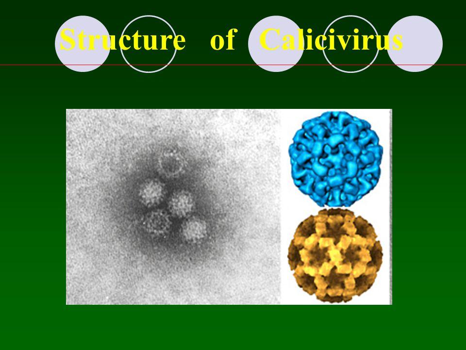 Structure of Calicivirus