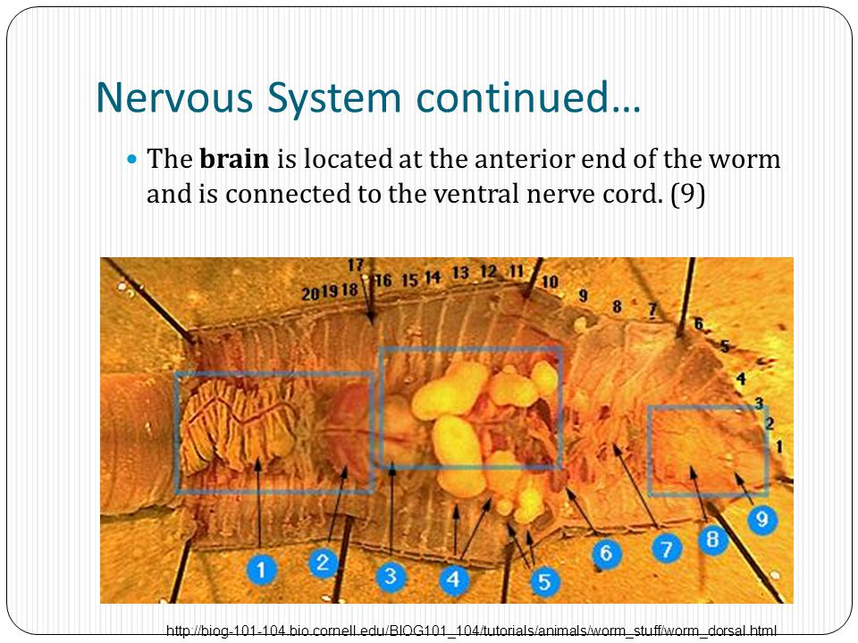 Nervous System continued… The brain is located at the anterior end of the worm and is connected to the ventral nerve cord. (9) http://biog-101-104.bio