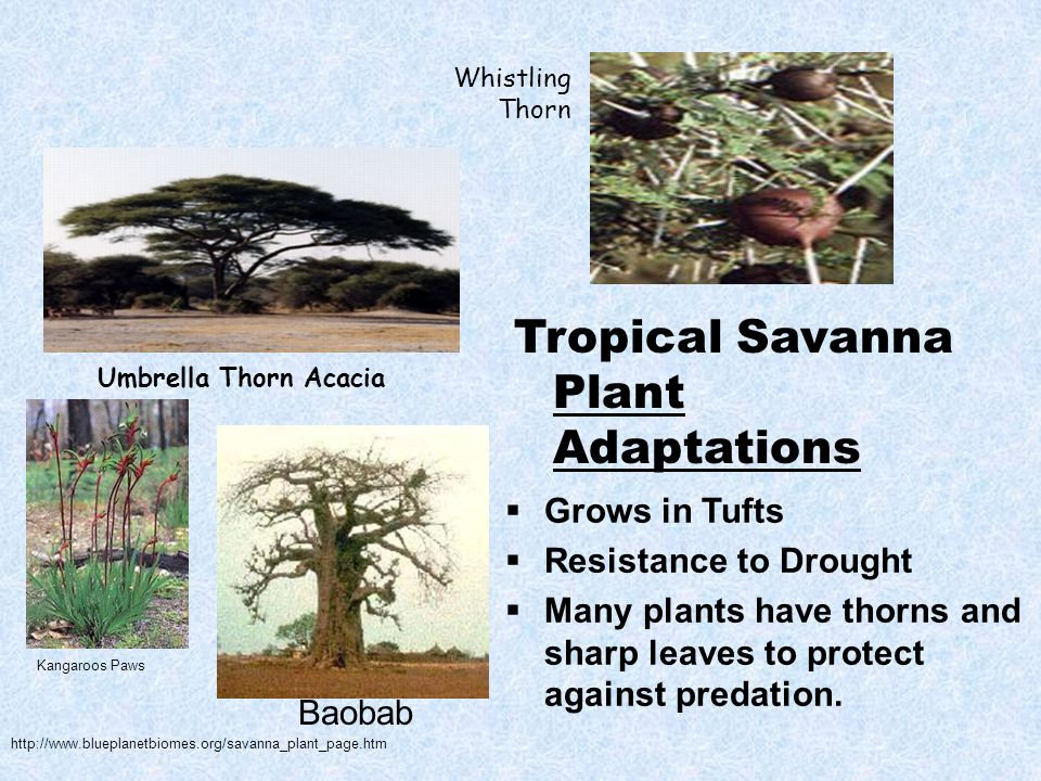 Whistling Thorn Umbrella Thorn Acacia Tropical Savanna Plant Adaptations  Grows in Tufts  Resistance to Drought  Many plants have thorns and sharp leaves to protect against predation.