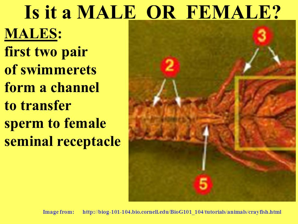 Is it a MALE OR FEMALE? MALES: first two pair of swimmerets form a channel to transfer sperm to female seminal receptacle Image from: http://biog-101-