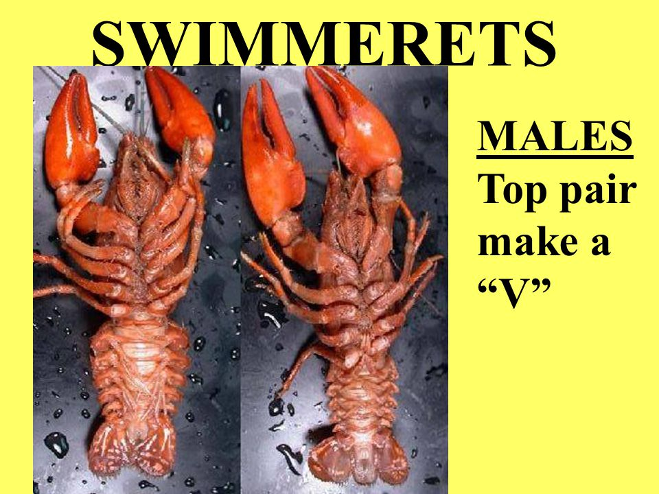 "SWIMMERETS MALES Top pair make a ""V"""