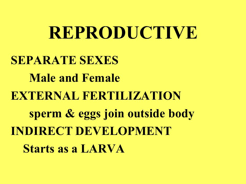 REPRODUCTIVE SEPARATE SEXES Male and Female EXTERNAL FERTILIZATION sperm & eggs join outside body INDIRECT DEVELOPMENT Starts as a LARVA