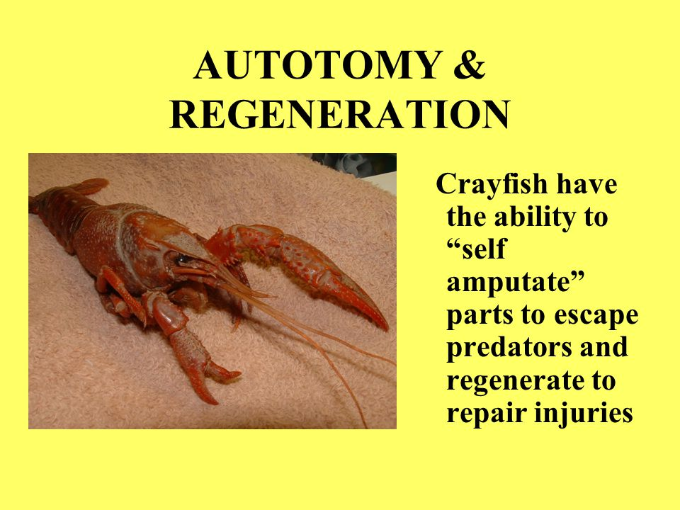 "AUTOTOMY & REGENERATION Crayfish have the ability to ""self amputate"" parts to escape predators and regenerate to repair injuries"
