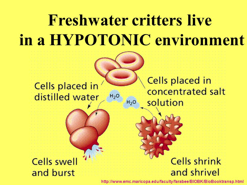 Freshwater critters live in a HYPOTONIC environment http://www.emc.maricopa.edu/faculty/farabee/BIOBK/BioBooktransp.html