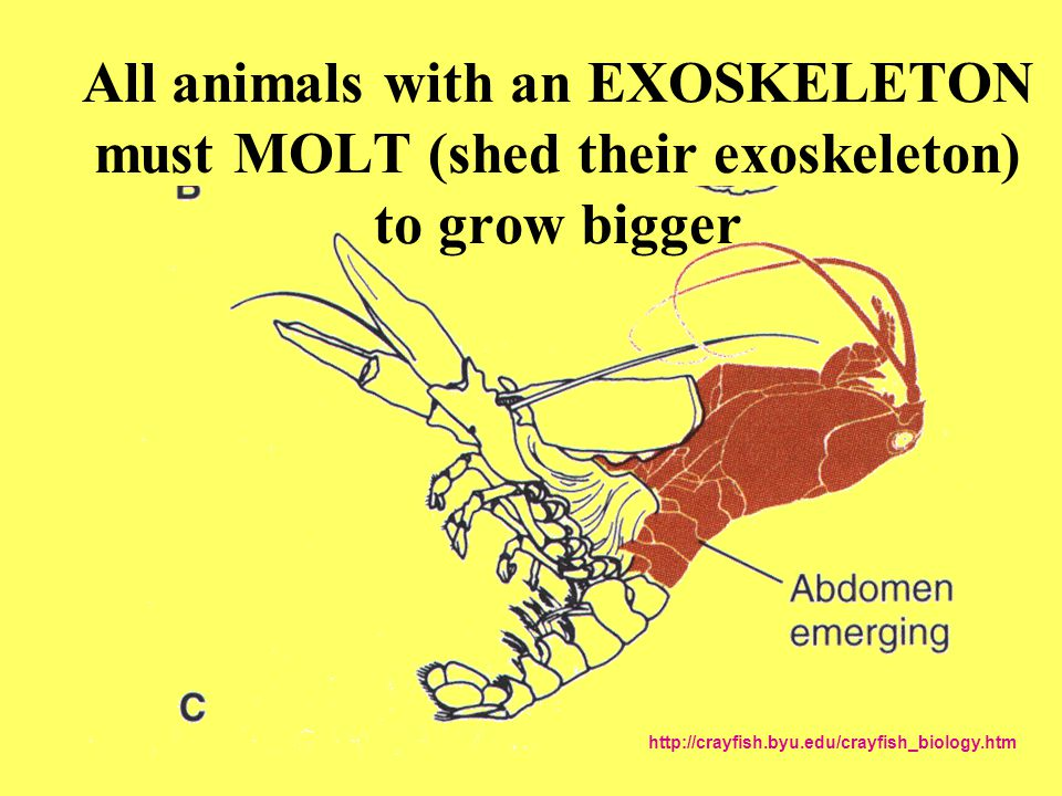 All animals with an EXOSKELETON must MOLT (shed their exoskeleton) to grow bigger http://crayfish.byu.edu/crayfish_biology.htm