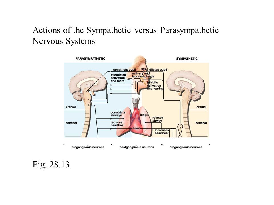 Actions of the Sympathetic versus Parasympathetic Nervous Systems Fig. 28.13