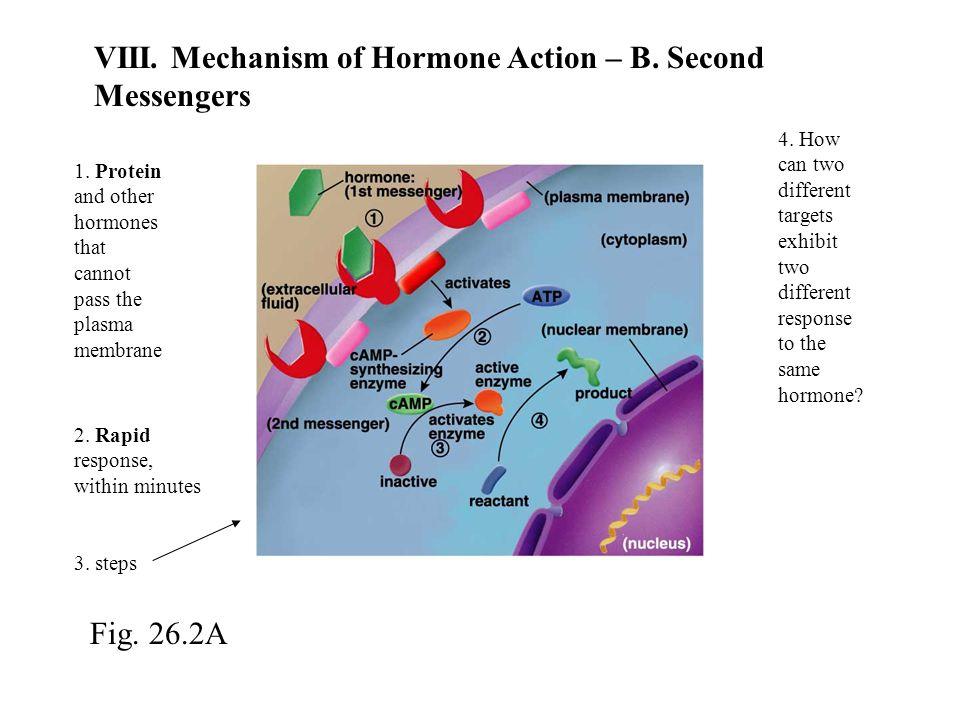 VIII. Mechanism of Hormone Action – B. Second Messengers 1.