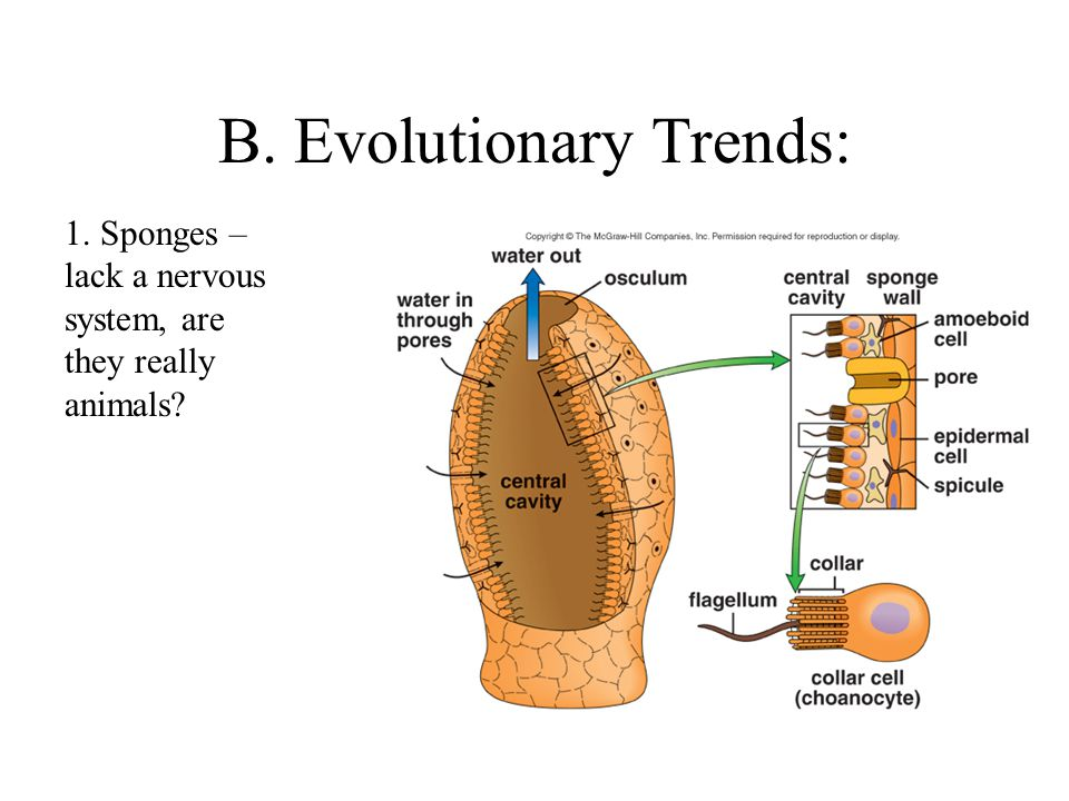 B. Evolutionary Trends: 1. Sponges – lack a nervous system, are they really animals?