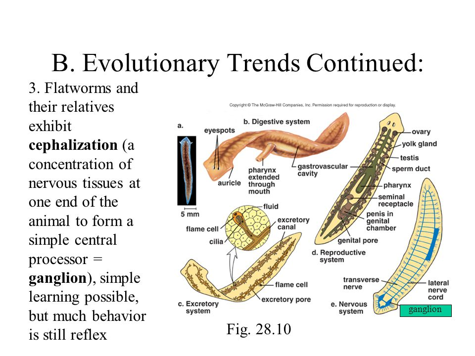 B. Evolutionary Trends Continued: 3.
