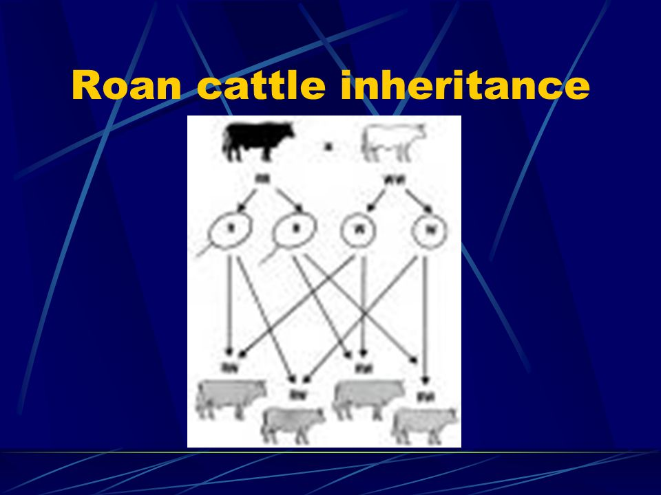 Codominance When two alleles both appear in the phenotype. Usually signified using superscripts. example: color of hair coat in cattle. crcr crcr = re