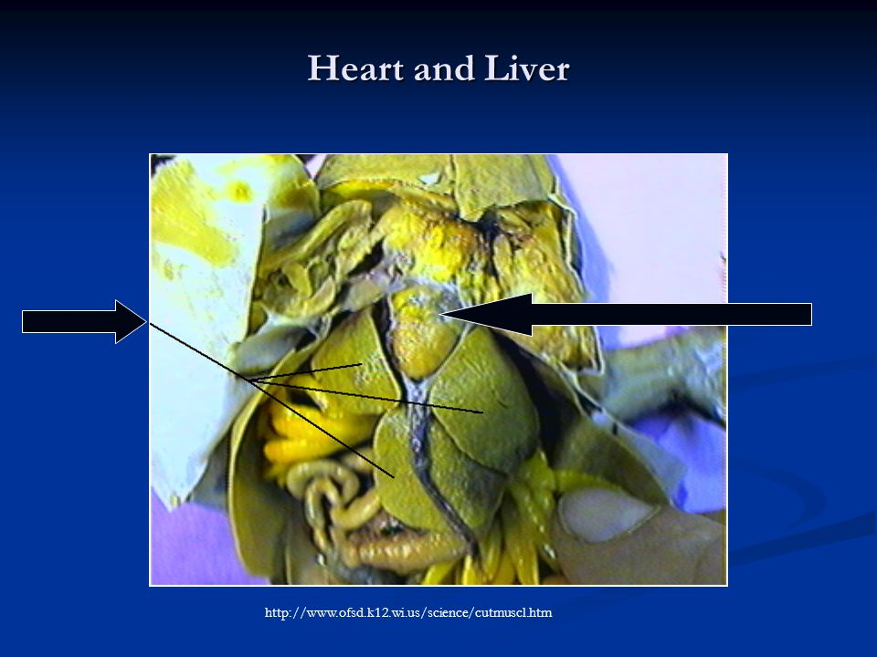 Heart and Liver http://www.ofsd.k12.wi.us/science/cutmuscl.htm