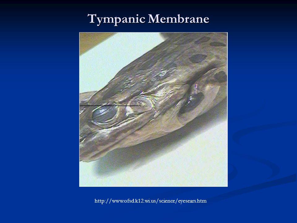 Tympanic Membrane http://www.ofsd.k12.wi.us/science/eyesears.htm