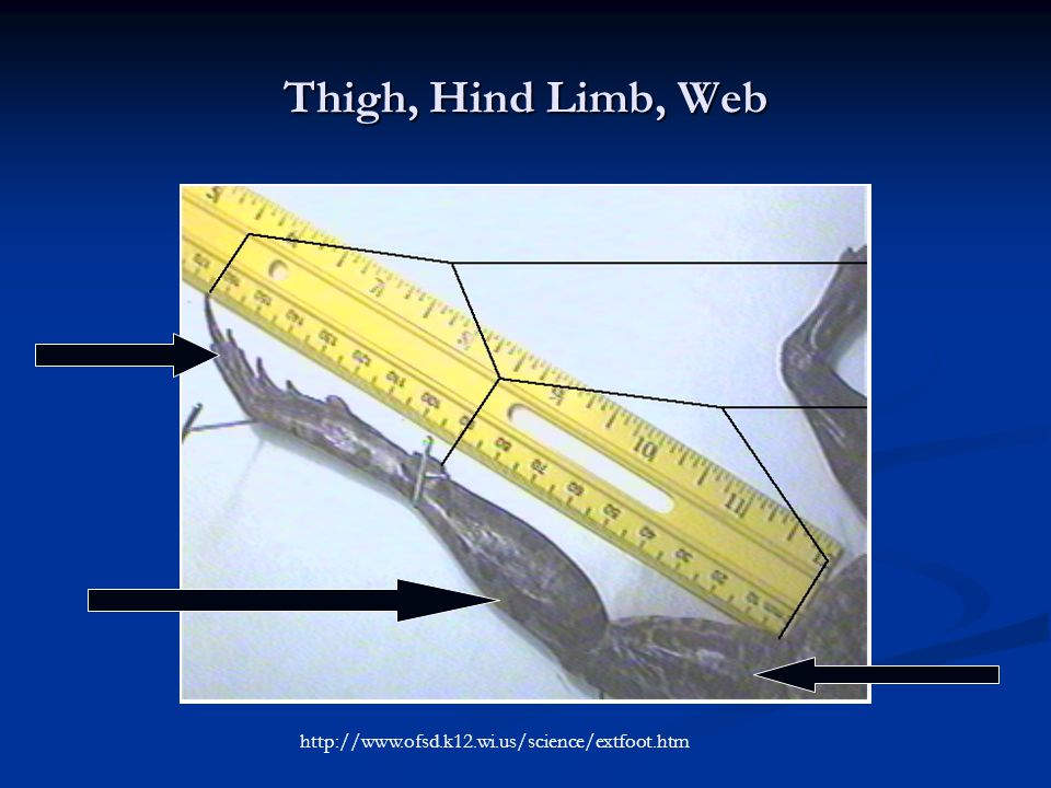 Thigh, Hind Limb, Web http://www.ofsd.k12.wi.us/science/extfoot.htm