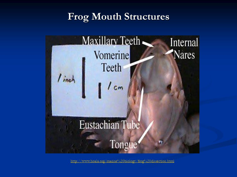 Mouth Structures http://www.ofsd.k12.wi.us/science/vomerine.htm