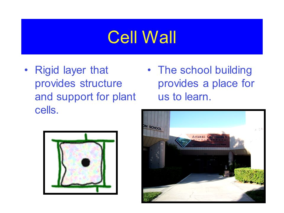 Cell Wall Rigid layer that provides structure and support for plant cells.