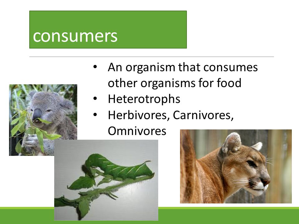 consumers An organism that consumes other organisms for food Heterotrophs Herbivores, Carnivores, Omnivores