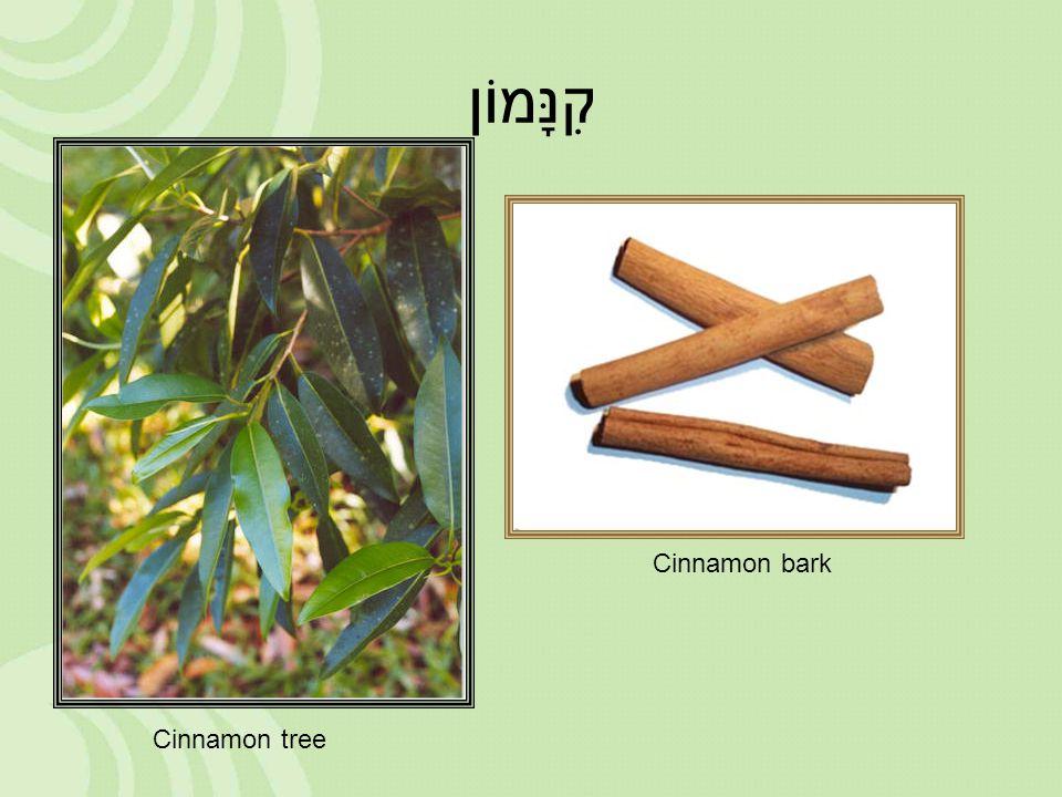 קִנָּמוֹן Cinnamon tree Cinnamon bark