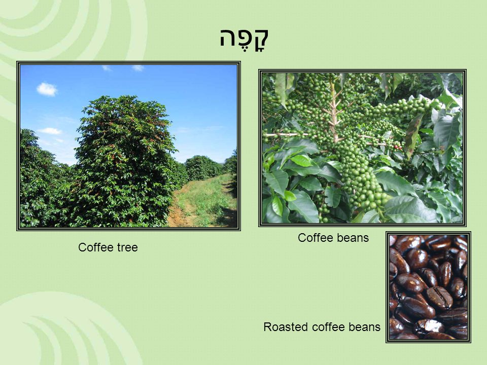 קָפֶה Coffee tree Coffee beans Roasted coffee beans