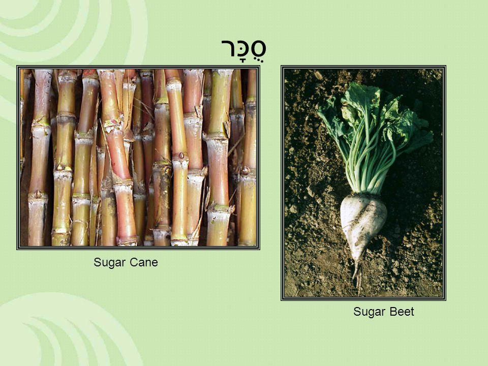 סֻכָּר Sugar Cane Sugar Beet