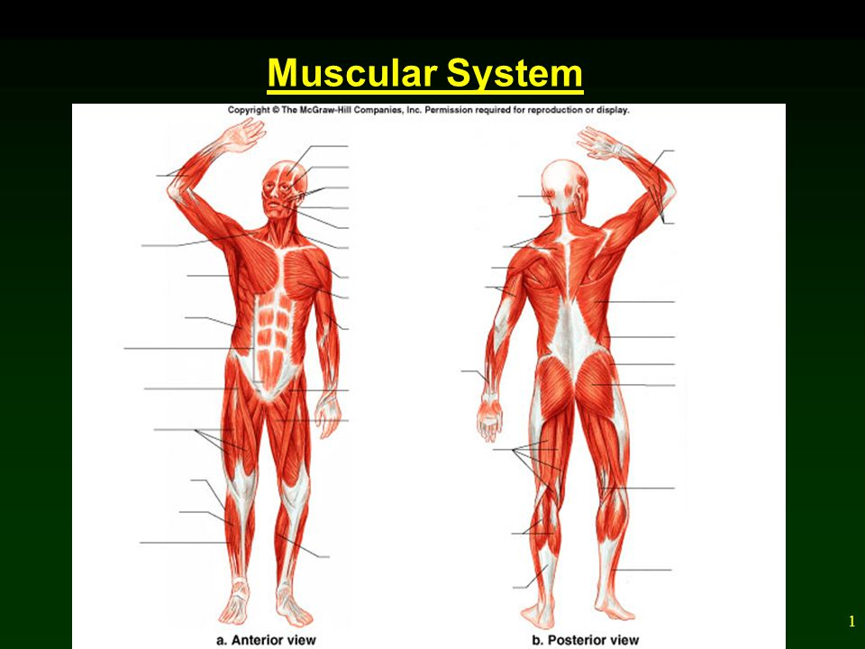 1 Muscular System