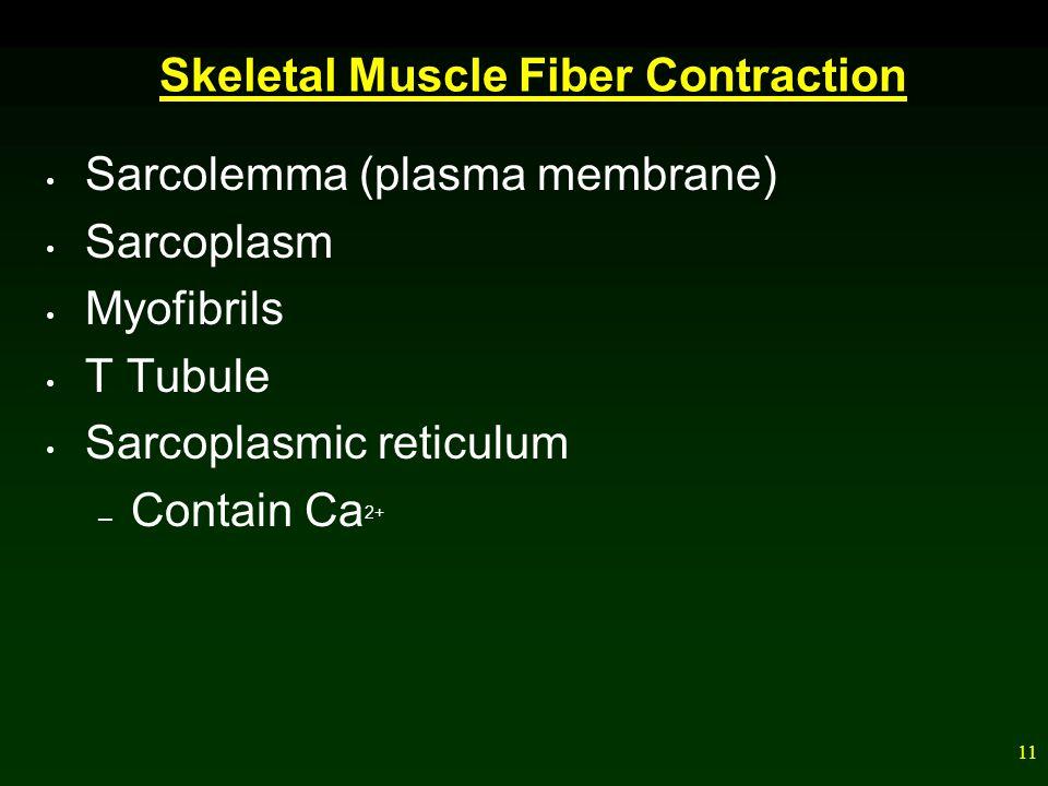 11 Skeletal Muscle Fiber Contraction Sarcolemma (plasma membrane) Sarcoplasm Myofibrils T Tubule Sarcoplasmic reticulum – Contain Ca 2+