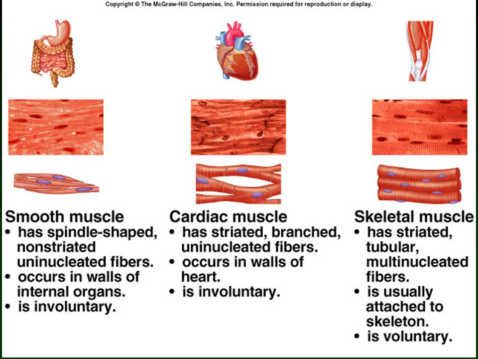 5 Functions of Skeletal Muscles Body support.Bone movement.
