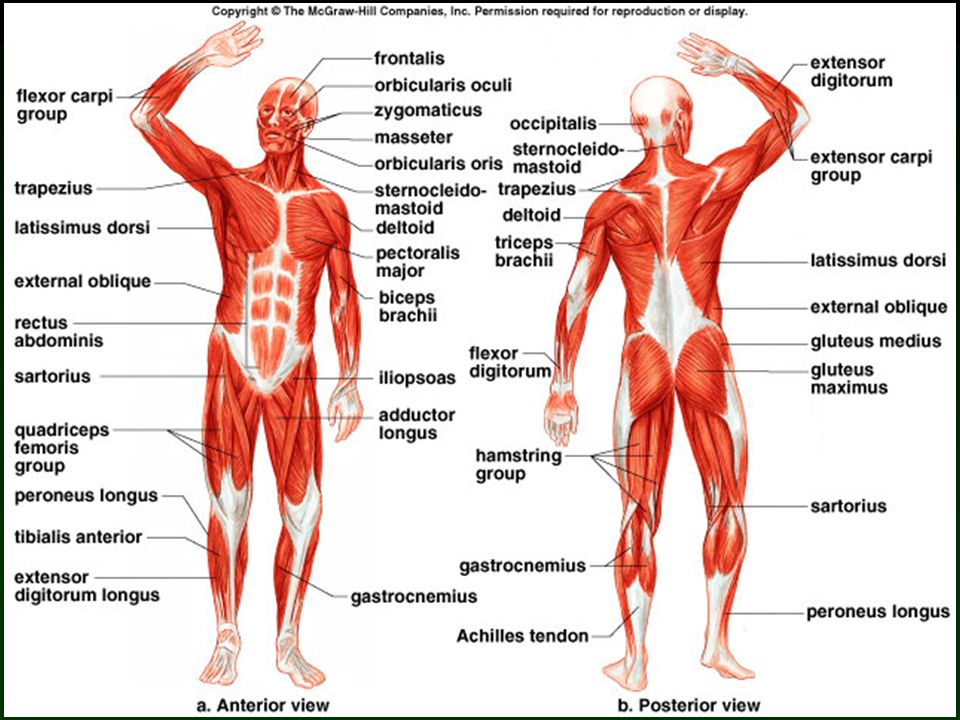 10 Skeletal Muscle Fiber Contraction Overview of Muscular Contraction.