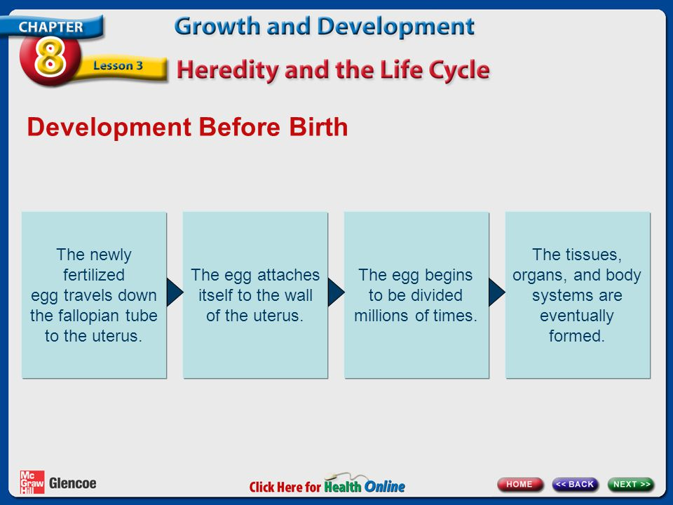 Development Before Birth The newly fertilized egg travels down the fallopian tube to the uterus. The egg attaches itself to the wall of the uterus. Th