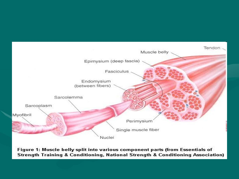 Skeletal Muscle Attachments Epimysium blends into a connective tissue attachment; the tendon – a cord-like structureEpimysium blends into a connective tissue attachment; the tendon – a cord-like structure Sites of muscle attachmentSites of muscle attachment –Bones –Cartilages –Connective tissue coverings Animation: http://www.wisc- online.com/objects/index_tj.asp?objID=AP13904 http://www.wisc- online.com/objects/index_tj.asp?objID=AP13904http://www.wisc- online.com/objects/index_tj.asp?objID=AP13904