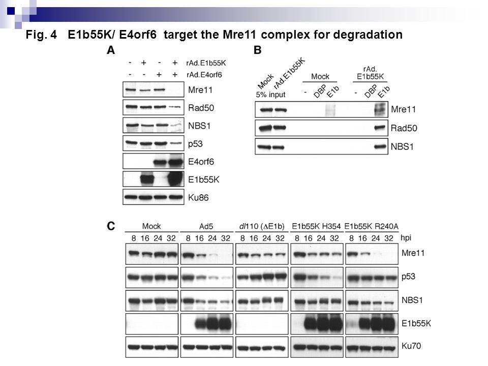 Fig. 4 E1b55K/ E4orf6 target the Mre11 complex for degradation