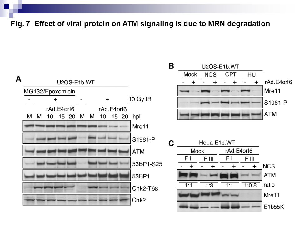 Fig. 7 Effect of viral protein on ATM signaling is due to MRN degradation