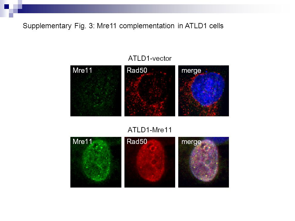 Supplementary Fig. 3: Mre11 complementation in ATLD1 cells