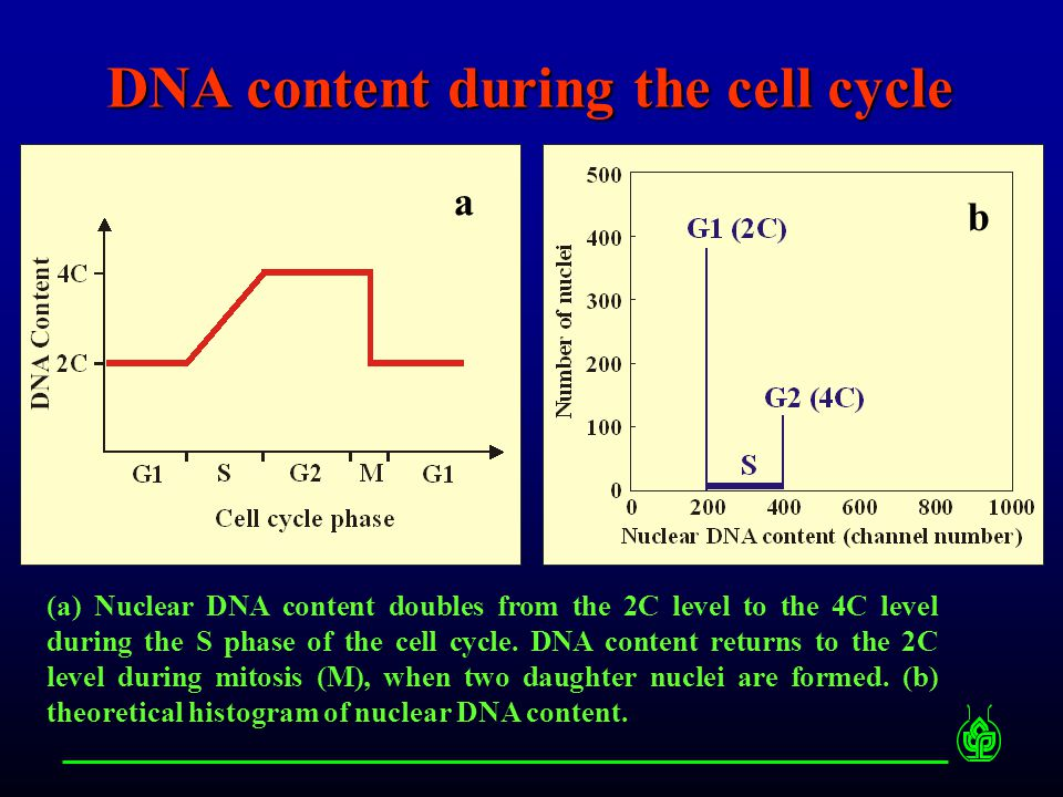 Histogram of relative nuclear DNA content easy, fast and non- expensive good for determination of cell cycle distribution cannot study cell cycle kinetics G1 or S ?S or G2 ?
