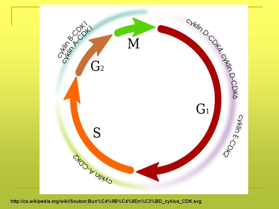 http://cs.wikipedia.org/wiki/Soubor:Bun%C4%9B%C4%8Dn%C3%BD_cyklus_CDK.svg